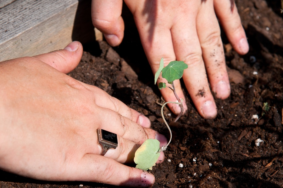 Hands placing a plant in the dirt